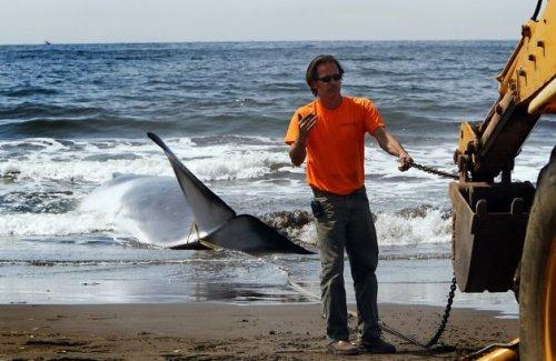 13-метровый кит выбросился умирать на калифорнийский пляж