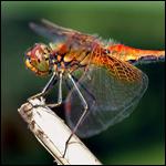 Крыло стрекозы