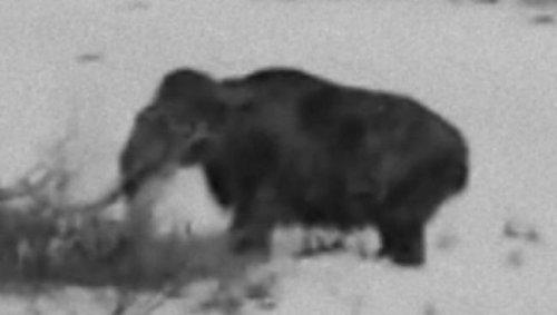 Живой мамонт был заснят в Сибири?