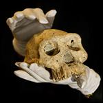 Череп из Дманиси поставил под сомнение существование видов Homo