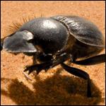 Найдены галопирующие навозные жуки