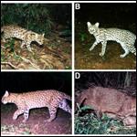 В Бразилии нашли ранее неизвестный вид диких кошек