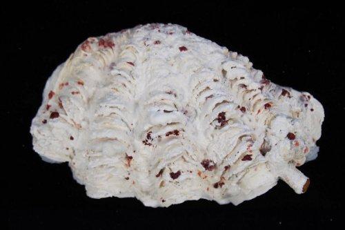 Найден новый вид гигантских моллюсков