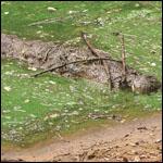 Крокодилов уличили в использовании палок для охоты