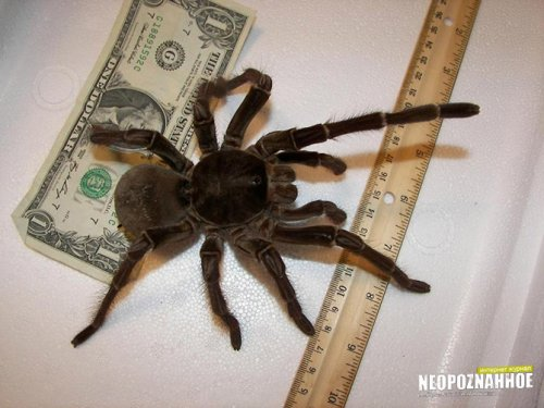 Самый большой в мире паук