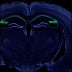 Нейробиологи лишили мышей социальной памяти