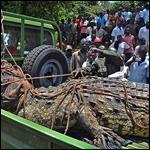 В Уганде поймали крокодила-людоеда весом в тонну