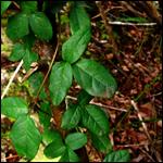В Чили обнаружили мимикрирующее растение