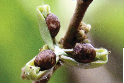 Биологи нашли поедающее металл растение