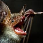 Вампиры перестали чувствовать горькое в ходе эволюции