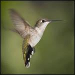 По летным качествам колибри превзошли вертолеты
