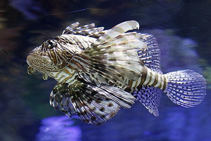 Хищных рыб крылаток уподобили терминаторам