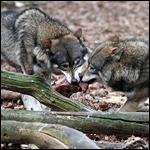 Зоологи доказали демократичность волков и авторитаризм собак