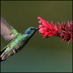 Колибри первыми из птиц стали сладкоежками