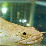 Биологи научили рыб ходить