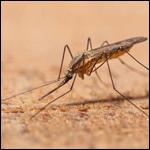 Малярийные комары расширили свой ареал до Южного Урала