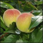 Китай признали родиной одомашненных персиков