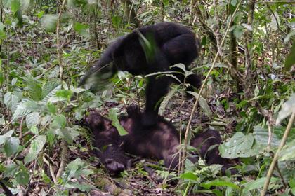 Шимпанзе оказались прирожденными убийцами