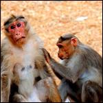 Высшие приматы оказались готовы отказаться от сиюминутной выгоды