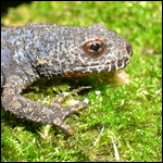 Европейские жабы-повитухи стали жертвами эпидемии
