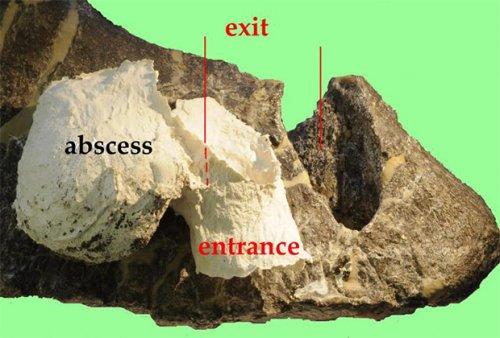 Cтегозавры убивали аллозавров ударом хвоста в лобковую кость