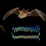 Летучие мыши научились глушить эхолокаторы друг друга