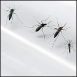 Биологи раскрыли секрет любви комаров к человеку