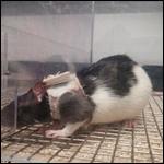 Эксперименты на крысах объяснили привлекательность женского белья