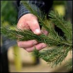 Ученые обнаружили до 25 тысяч насекомых в новогодних елках