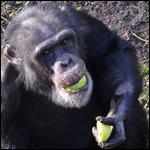 У шимпанзе обнаружили способность обучаться иностранной речи