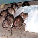 У крыс в Нью-Йорке нашли блох — переносчиков бубонной чумы