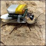 Тараканами-киборгами научились править дистанционно