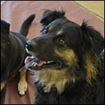 Собаку научили выявлять рак по запаху мочи