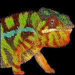Ученые объяснили ловкость хамелеонов менять цвет