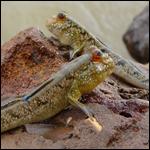У рыб нашли водяной наречие для охоты на суше