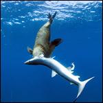Тюленей обвинили в охоте и поедании акул