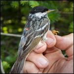 Крошечные лесные птицы оказались рекордсменами трансокеанских перелетов