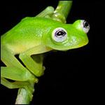 Настоящего лягушонка Кермита обнаружили в лесах Коста-Рики