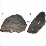 Ученые поспорили о половых различиях стегозавров