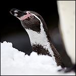 Экскременты пингвинов оказались необходимы для высиживания яиц