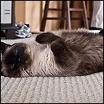 Шуршание фольги и звук бокалов оказались причиной эпилепсии около кошек