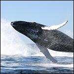 Ученые обнаружили эластичные нервы около самых больших в мире китов