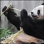 Панды оказались неприспособленными к перевариванию бамбука