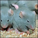 Мыши на МКС доказали вредность космоса для кожи