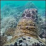 Морская черепаха провела видеоэкскурсию по Большому Барьерному рифу
