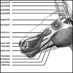 По богатству мимики лошадь уступила только человеку