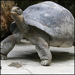 На Галапагосских островах обнаружили новый вид гигантской черепахи