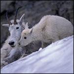 В США показали переброску снежных коз с помощью вертолета