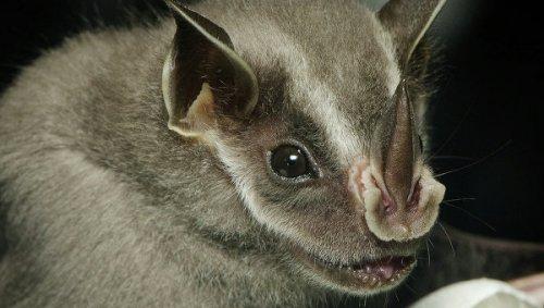 Раскрыт секрет появления летучих мышей вампиров