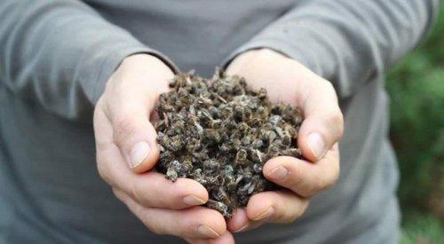 Исчезают пчелы, грядет Апокалипсис?